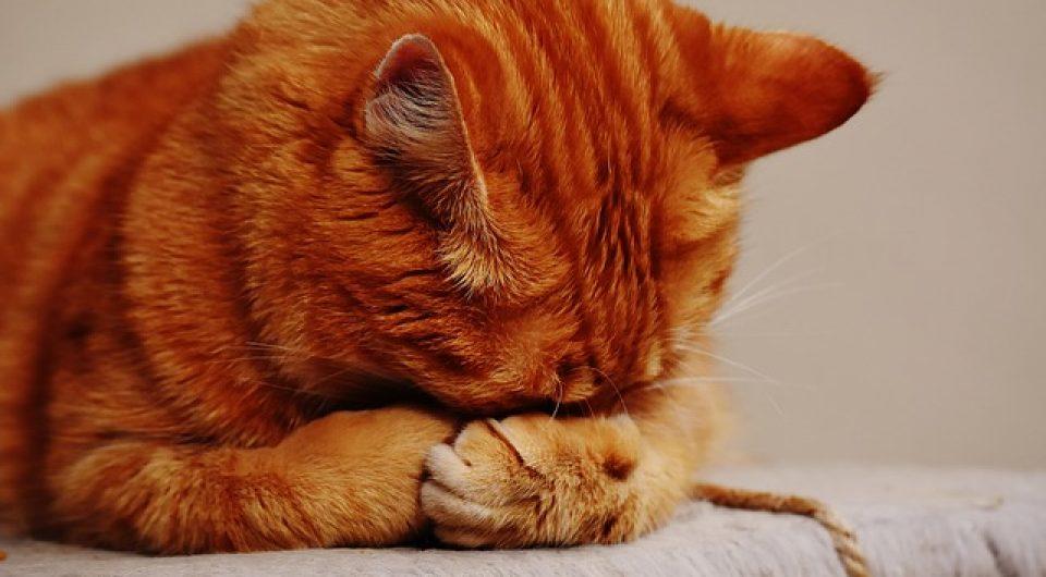 karma mokra dla kotów