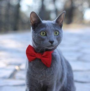 Kot rosyjski najpopularniejsze rasy kotów