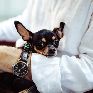 Czy Chihuahua nadaje się do dzieci?