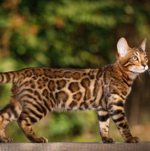 Kot bengalski jak tygrys