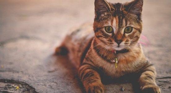 dorosły kotek