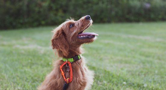 jak nauczyć psa komendy obrót