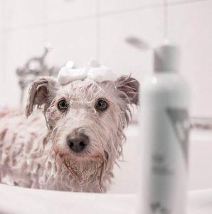biały pies w kąpieli