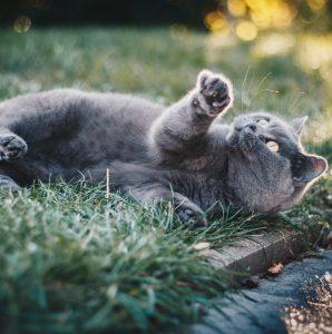 Duże rasy kotów – największe kocie rasy TOP 10