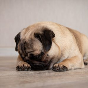 obrażony pies